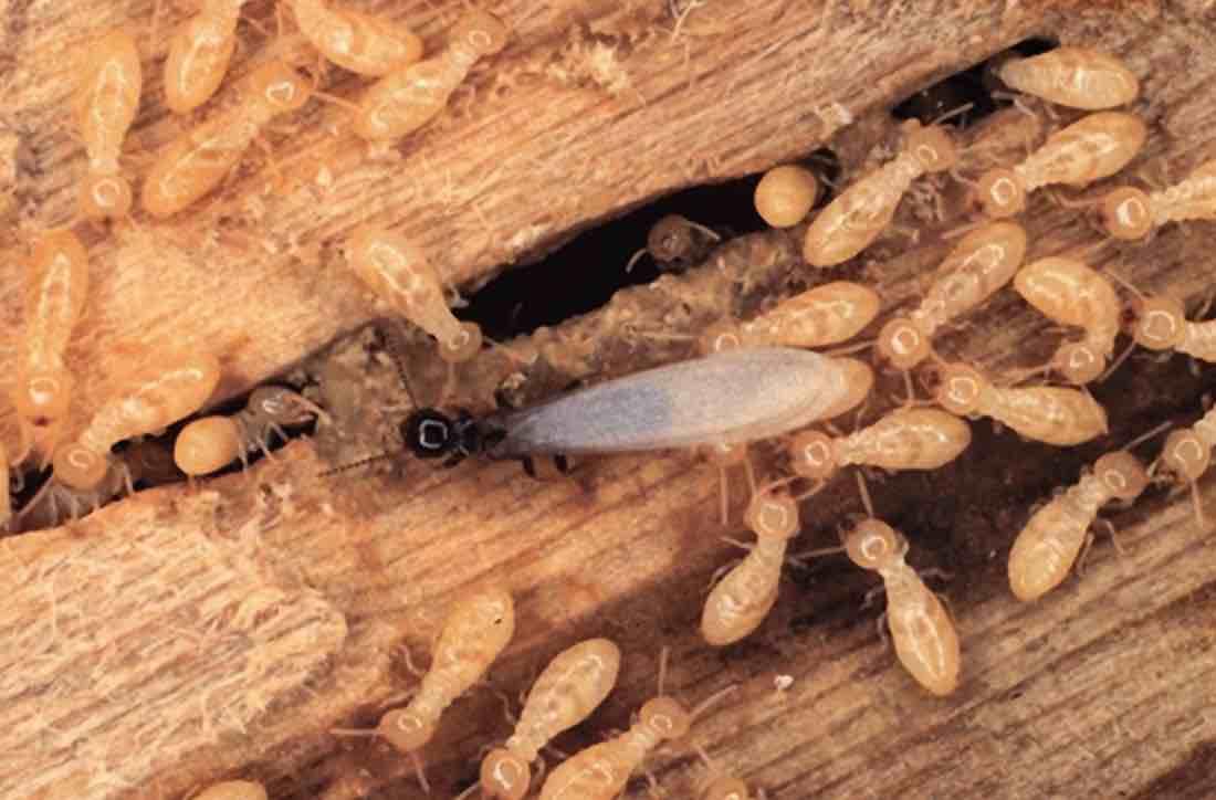 رش النمل الابيض بالاحساء