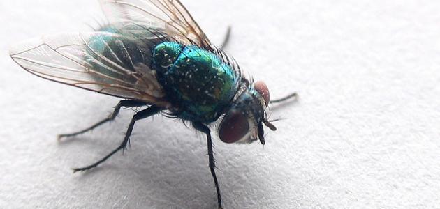 التخلص من الذباب - طرق القضاء على الذباب