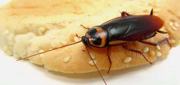مكافحة الصراصير في المطبخ
